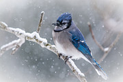 Cheryl Baxter Prints - Christmas Card BlueJay Print by Cheryl Baxter