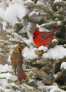 Rare Bird Prints - Christmas card with cardinals Print by Mircea Costina Photography