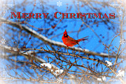 Living Waters Photography - Christmas Cardinal