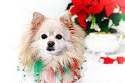 Toy Dog Posters - Christmas Dog Poster by Charline Xia