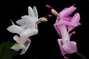 Christmas Cactus Art - Christmas Duo. by Terence Davis