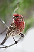House Finch Prints - Christmas Finch Print by Christina Rollo