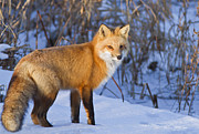 Fur Photo Posters - Christmas Fox Poster by Mircea Costina Photography