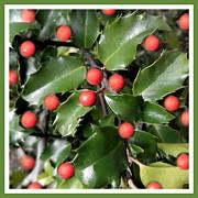 Patricia Sundik - Christmas Holly Berries