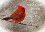 Red Bird In Snow Prints - Christmas Magic Cardinal Card Print by Lois Bryan