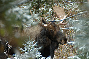 Bull Moose Posters - Christmas Moose Poster by Lee Kirchhevel