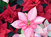 Kathleen Prints - Christmas Pointsettia Print by Kathleen Struckle