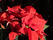 Elisabeth Ann - Christmas Red Poinsettia