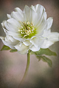 Textured Floral Prints - Christmas Rose Print by Jacky Parker