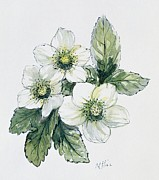 Christmas Flower Paintings - Christmas Rose by Nell Hill
