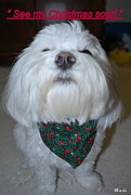 Maltese Puppy Posters - Christmas Scarf Poster by Mary Beth Landis