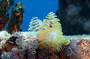 Cynthia Cleveland - Christmas Tree Worms