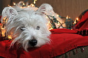 White Puppy Posters - Christmas Westie Poster by Catherine Reusch  Daley
