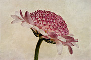 Close-up Digital Art Posters - Chrysanthemum Domino Pink Poster by John Edwards