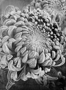 Winter Prints Prints - Chrysanthemum Print by Elena Nosyreva