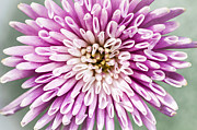 Mums Photo Framed Prints - Chrysanthemum flower closeup Framed Print by Elena Elisseeva
