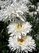 Mccombie Photos - Chrysanthemum named Crazy Daisy by J McCombie