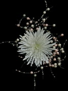 Scanography Photos - Chrysanthemums and Pearls by Nancy TeWinkel Lauren