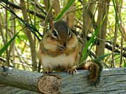 Briella Danowski - Chubby Cheeked Chipmunk
