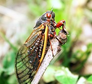 Insects Photos - Cicada by Candice Trimble