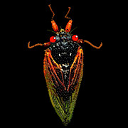 R  Allen Swezey - Cicada in Black
