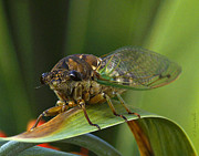 Cicada Posters - Cicada Poster by J Larry Walker