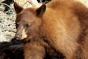 Black Bear Photos - Cinnamon Black Bear - Close-up by Marilyn Burton