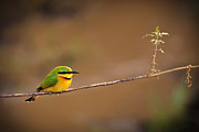 Single Bird Posters - Cinnamon-chested Bee-eater Poster by Adam Romanowicz
