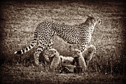 Photos Of Cats Photos - Circle of Life by Chris Scroggins
