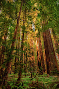 Avenue Of The Giants Prints - Circle of Light - California Redwoods Print by Dan Carmichael