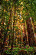 Metal Art Photography Posters - Circle of Light - California Redwoods Poster by Dan Carmichael
