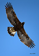 Stephen  Johnson - Circling Golden Eagle