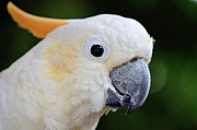 Pet Cockatoo Photos - Citron-Crested Cockatoo by Nicole Rodriguez