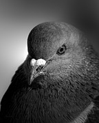 Common Metal Prints - City Bird Gang Leader Metal Print by Bob Orsillo