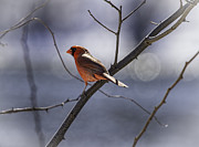 Male Northern Cardinal Prints - City Lights Print by Thomas Young
