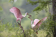 Spoonbill Photos - Clacking Bills by Bonnie Barry