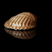 Seashell Picture Photos - Clam Shell by Tawnya Apuan