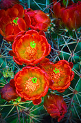 Thorny Desert Plant Framed Prints - Claret Cup Framed Print by Inge Johnsson