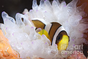 Yellowtail Clownfish Framed Prints - Clarks Anemonefish In White Anemone Framed Print by Steve Jones