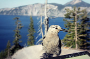 Pine Cones Photos - Clarks Nutcracker by Melanie Lankford Photography