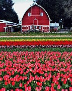 Pink Tulips Photos - Classic Red Barn by Benjamin Yeager