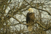Bald Eagles Prints - Clear Eyes  Print by Jeff  Swan