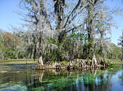 Florida Gators Framed Prints - Clear Wakulla River Framed Print by Susan Wyman