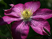 Michael D. Friedman Framed Prints - Clematis Aglow Framed Print by Michael Friedman