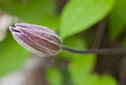 Jonathan Welch Framed Prints - Clematis Bud Framed Print by Jonathan Welch