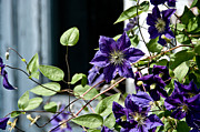 Stepping Stones Prints - Clematis by the Door Print by Cheryl Baxter