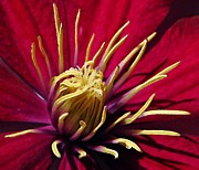 Burgundy Posters - Clematis Center in Oils Poster by Chris Berry