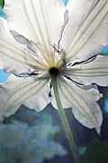 Michelle Calkins - Clematis in Morning Sun