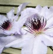 Michelle Calkins - Clematis in Spring