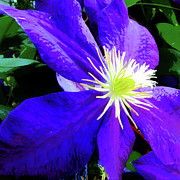 Watercolors Photo Originals - Clematis in watercolor by John Freidenberg